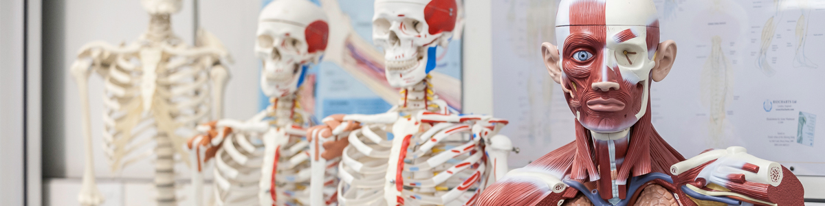 Skeleton and organ models